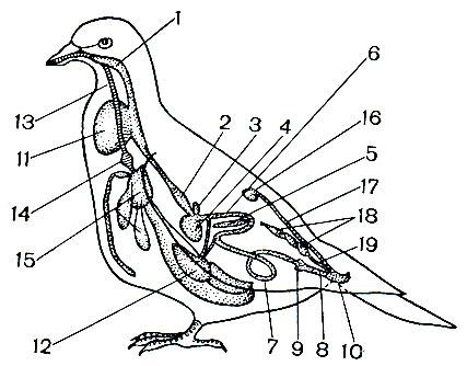 Внутренние органы птиц: 1