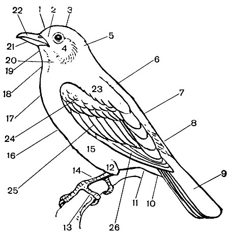 Класс птицы (Aves) [1970