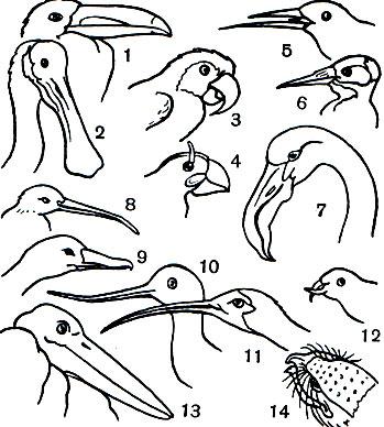 Клювы птиц: 1 - зеленоклювого