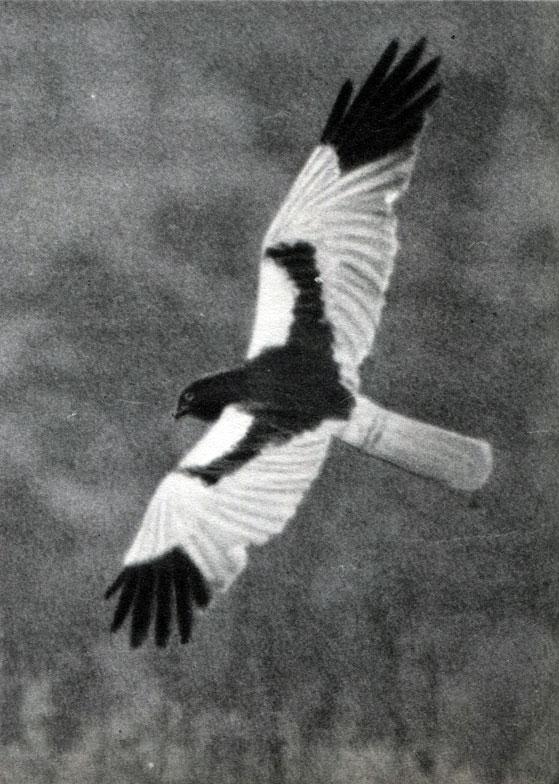 Хищные птицы тульской области