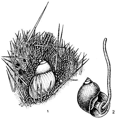 моллюск паразит на теле человека