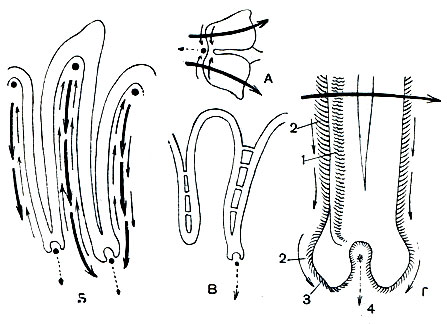 моллюсков (схема): А