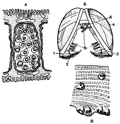 Развитие анодонты: А - разрез