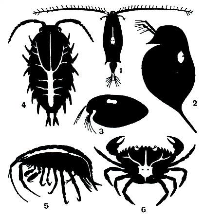 бокоплав паразит
