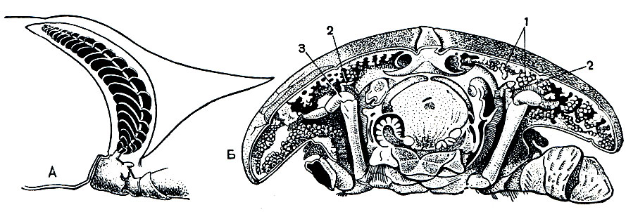грудного отдела краба,