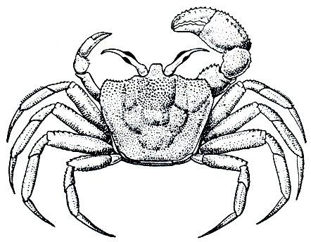 Краб-привидение Ocypode