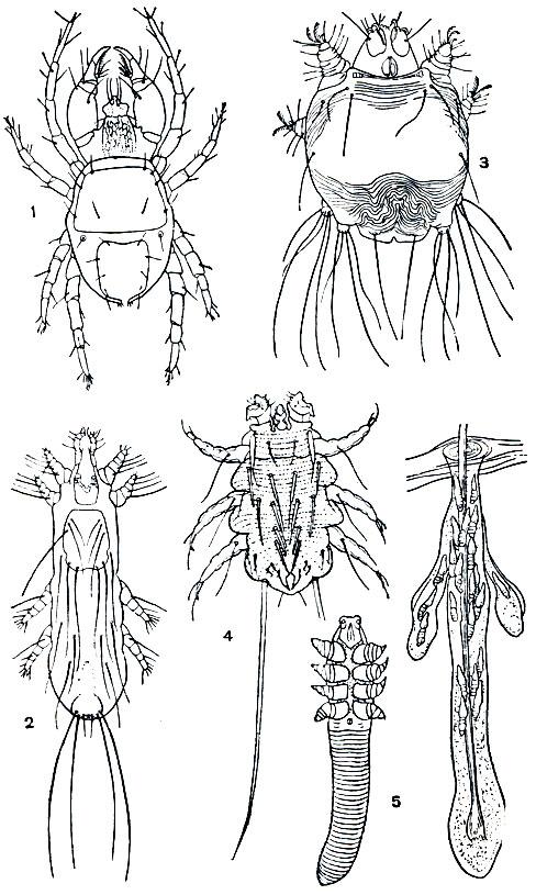 сколько живут паразиты в организме человека