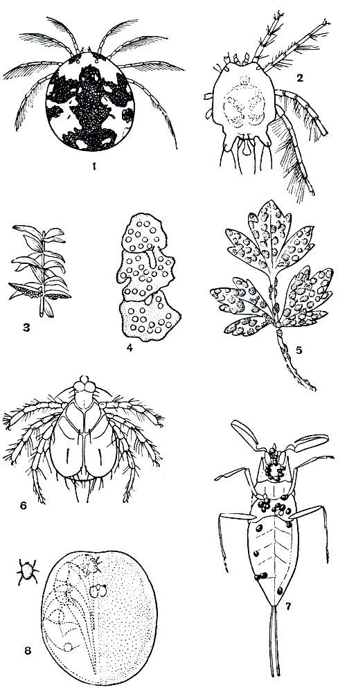 личинка Piona; 7 - личинки