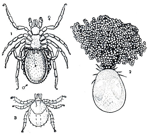 Размножение иксодовых клещей: