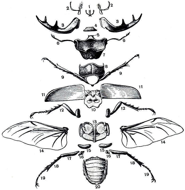 Расчлененный самец жука-оленя