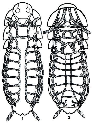 Трахейная система таракана: 1